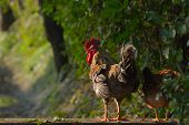 stock photo of roosters  - domestic hen and rooster in nepali tharu farm - JPG