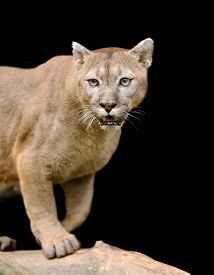 pic of cougar  - Cougar is on a branch against a dark background - JPG