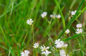 Постер, плакат: Blooming White Flowers Of Chickweed