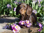 stock photo of dachshund  - puppy dachshund chocolate color - JPG