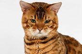 stock photo of bengal cat  - Closeup Bengal Cat with green eyes on White background - JPG