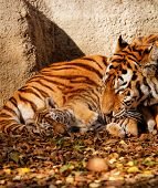 image of cute tiger  - The tiger mum in the zoo with her tiger cub  - JPG