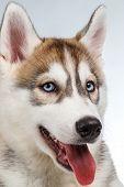 stock photo of hairy tongue  - Closeup  Siberian Husky Puppy on White background - JPG