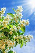 image of jasmine  - Jasmine flower growing in garden with sun rays and blue sky - JPG