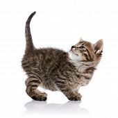 picture of puss  - Striped amusing small kitten on a white background - JPG