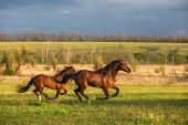 stock photo of wild horse running  - two brown horses are running in the green field - JPG