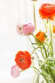 picture of buttercup  - Colorful persian buttercup flowers  - JPG