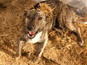 picture of manger  - Mixed Breed Smiling Dog Lies on Manger - JPG