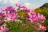 picture of cosmos  - Pink cosmos flower family fompositae cosmos flower in field - JPG