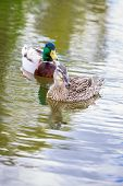 picture of male mallard  - Male and female mallard couple hang out in the lake - JPG