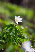 pic of primrose  - Beautiful anemones - JPG