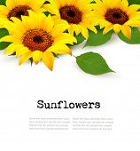 picture of sunflower  - Sunflowers Background With Sunflower And Leaves - JPG
