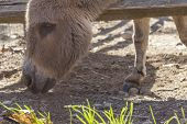 foto of jackass  - Cute donkey sticks its head between the wooden fence looking for food - JPG