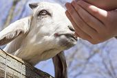 pic of feeding  - Feeding a small goat at a petting zoo in early spring - JPG