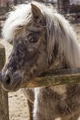 picture of pony  - Grey pony with thick fur and silver mane looks over his fence in this farm portrait - JPG
