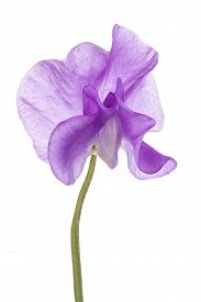 picture of sweet pea  - Studio Shot of Fuchsia Colored Sweet Pea Flower Isolated on White Background - JPG