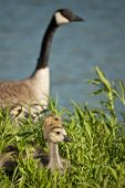 picture of mother goose  - Canada goslings sit in the grass while the mother watches protectively in the background.