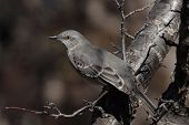 picture of mockingbird  - a texas mockingbird sitting in a tree - JPG