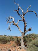 picture of semi-arid  - a single tree standing amidst a semi arid australian landscape  - JPG