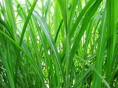 pic of tall grass  - a full frame of tall green grass from a closeup and low angle beautifully backlit - JPG