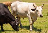 stock photo of charolais  - cow with horns Australian bred beef cattle black and white cows grazing on fodder - JPG
