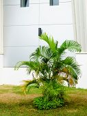 Dypsis Lutescens Or Areca Palm Or Golden Cane Palm Or Golden Feather Palm Or Butterfly Palm Decorate poster