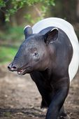 stock photo of tapir  - Malayan Tapir - JPG