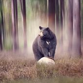 Black bear on a rock  in the woods poster