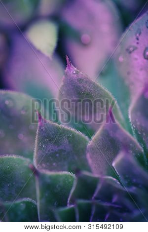 poster of Macro Shot Of Neon Succulent With Shallow Depth Of Field. Plant Closeup With Pink And Purple Lights.