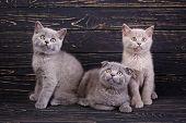 Scottish Straight And Scottish Fold Kittens. Professional Photography Purebred Kittens poster