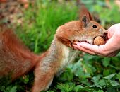 Cute And Furry Squirrel Is Eating Walnut From Open Hand In Spring City Park poster