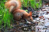 Furry Squirrel Is Drinking Water In A Small River Rivulet In Spring City Park poster