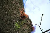 Cute And Furry Squirrel With The Nut Is Sitting On The Tree In City Park poster