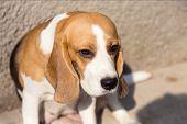 Portrait Cute Face Beagle Dog. Closeup Breed Dog Portrait. poster