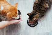 Owner Pours Dry Food To The Cat And Dog In The Kitchen. Masters Hand. Close-up. Concept Dry Food Fo poster