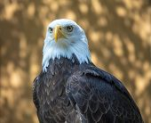 Mature Bald Eagle Intense Gaze And Intelligent Eyes poster