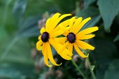 Two Black-eyed Susan Or Rudbeckia Hirta Or Brown-eyed Susan Or Brown Betty Or Gloriosa Daisy Or Gold poster
