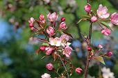 Постер, плакат: Пчела на яблони цвести
