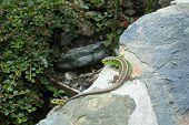The European Green Lizard Lacerta Viridis. Reptile Close Up. Lizard Close Up Shot. Nature Background poster