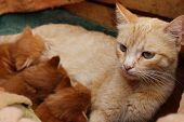 Ginger Cat And Cute Kittens. Red Tabby Cat And Kittens In Wooden Box. Animals Day, Animals Rescue, P poster