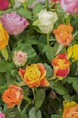 Bright Multicolored Bouquet Of Roses. Natural Flowers Background, Soft Focus. Colorful Roses Flower  poster
