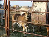 pic of brahma-bull  - baby bull being nosey while eating his food - JPG