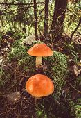 Two Big Mushrooms Aspen Forest In Autumn. Forest Mushrooms Picking Season. Leccinum Aurantiacum. Red poster