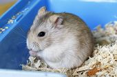 Dwarf Furry Hamster Eats Feeds And Sits On Sawdust Close-up poster