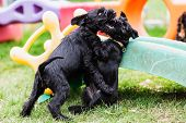 Two Fighting Standard Schnauzer Puppies During The Puppy School poster
