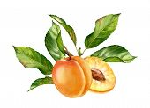 Realistic Botanical Watercolor Illustration Apricot Fruit Leaves Composition: Whole And Half Slice R poster