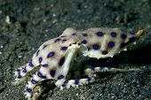Blue-ringed Octopus in Lembeh Straits