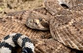 foto of western diamondback rattlesnake  - Closeup of a Western Diamondback Rattlesnake  - JPG