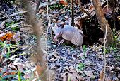 foto of armadillo  - Adult Nine Banded Armadillo Exiting from Den