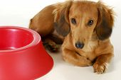 pic of long-haired dachshund  - dog waiting to be fed  - JPG
